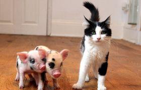 microporcusori si pisica